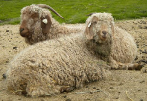 Angora goats from Ronan Country FIbers