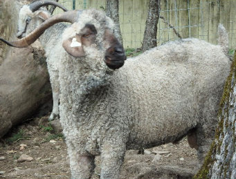 Angora goats and Gotland Sheep from Ronan Country Fibers