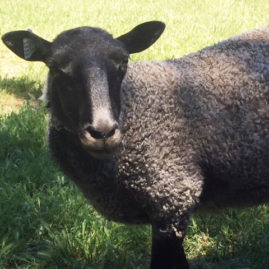 gotland wool archives ronan country fibers